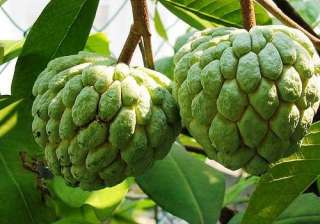 Custard apple: This fruit has a combination of Vitimins A and C, which help in combating free radicials in the body. It works to keep skin moisturised and healthy. Custard apple works great as a natural scrub as well. Consuming custard apple juice on a regular basis stimulates the development of new cells in the layers of the skin. It also assists in healing of abrasion and cut.