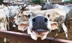 Minister stands by cow remark, says comment based on- India Tv