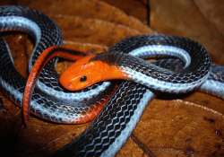 Venom of deadly snake that hunts young cobra can be used to