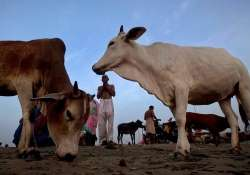 Declare cow as national animal: Gujarat Youth Congress - India Tv