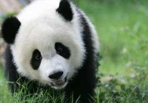 Do you know why Pandas are black and white- India Tv