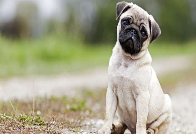 Most Reliable Dog Breeds