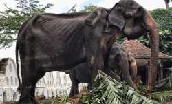 In name of faith, 70-year-old skeletal elephant forced to