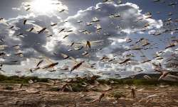 Locust attack may boost agrochemical companies in India