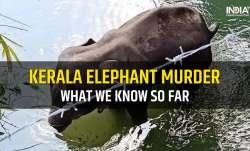 kerala elephant murder massive outrage, elephant died in kerala 2020, elephant, kerala elephant, ker