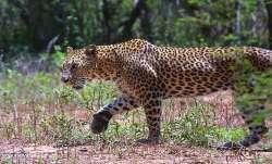 Leopard, Uttar Pradesh, leopard attack