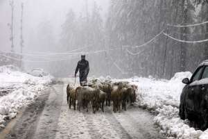 Shopian: A goatherd with a herd of goats walks on a road
